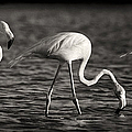 Flamingos Black And White Panoramic by Adam Romanowicz