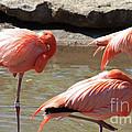 Flamingos by Brandi Maher