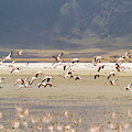 Flamingos Flying Over Water by Jonathan Kingston