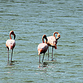 Flamingos Gathering Together by Christy Gendalia