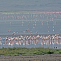 Flamingos On Lake Magadi by Tony Murtagh
