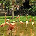 Flamingos Wading by MTBobbins Photography