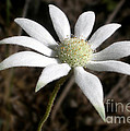 Flannel Flower by Kaye Menner