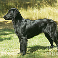 Flat-coated Retriever Dog by John Daniels