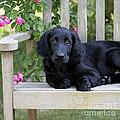 Flat-coated Retriever Puppy by John Daniels