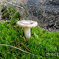 Flat Topped Mushroom by Leone Lund