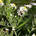 Fleabane Bee by David Addams