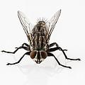 Flesh Fly Isolated by Pablo Romero