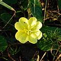 Fleur Jaune Couverte De Rosee by George Pedro
