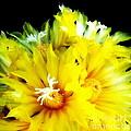 Fleurs De Cactus 2 by Pruddygurl Exclusives