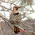 Flicker - Alabama State Bird - Attention by Travis Truelove