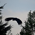 Flight Of The Black Crow by Maria Urso