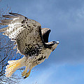 Flight Of The Red Tail by Bill Wakeley