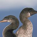 Flightless Cormorant Pair Galapagos by Tui De Roy