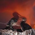 Flightless Cormorants And Volcanic by Tui De Roy