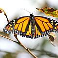 Flirting Monarch by Neal Eslinger