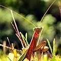 Flirty Mantis by Art Dingo