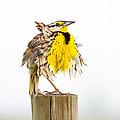 Flluffy Meadowlark by Bill Swindaman