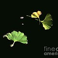 Floating Ginko Leaves by Dale   Ford