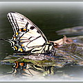 Floating In Water - Swallowtail -butterfly by Travis Truelove