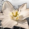 Floating Lily by Melvin Busch
