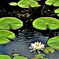 Floating Lily by Susie Loechler