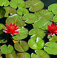 Floating Red Water Lilly Flowers On Pond by Amy McDaniel
