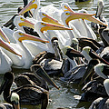 Flock Of Pelicans In Water, Galveston by Panoramic Images