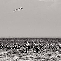 Flock Of Seagulls In Black And White by Sebastian Musial