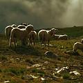 Flock Of Sheep by Roberto Pagani