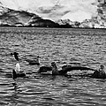 flock of southern giant petrels one showing sealmaster agressive feeding posture in port lockroy Ant by Joe Fox