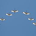 Flock Of White Ibis by Bradford Martin