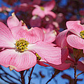 Floral Art Print Pink Dogwood Tree Flowers by Baslee Troutman