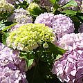 Floral Pink Lavender Hydrangea Garden Art Prints by Baslee Troutman