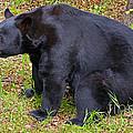 Florida Black Bear by Millard H. Sharp