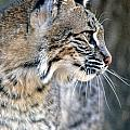 Florida Bobcat by Larry Allan