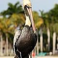 Florida Brown Pelican by Carol Groenen