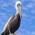 Florida Brown Pelican by Kim Hojnacki