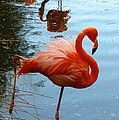 Florida Flamingo by Richard Bryce and Family