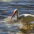 Florida Ibis by Christiane Schulze Art And Photography