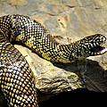 Florida King Snake Lampropeltis Getula Floridana Usa by Sally Rockefeller