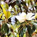 Florida Magnolia by Alice Gipson