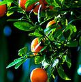 Florida Oranges by Susanne Van Hulst