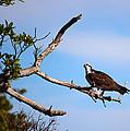 Florida Osprey Having Breakfast by Michelle Wiarda-Constantine