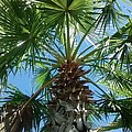 Florida Palm Tree by Zech Browning
