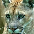 Florida Panther by Larry Allan