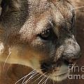 Florida Panther by Meg Rousher