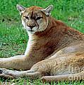 Florida Panther by Millard H. Sharp