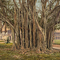 Florida Rubber Tree, C1900 by Granger