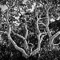 Florida Scrub Oaks Bw   by Rich Franco